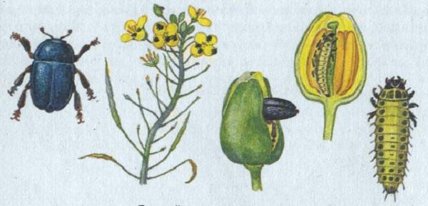 Этапы развития цветоеда