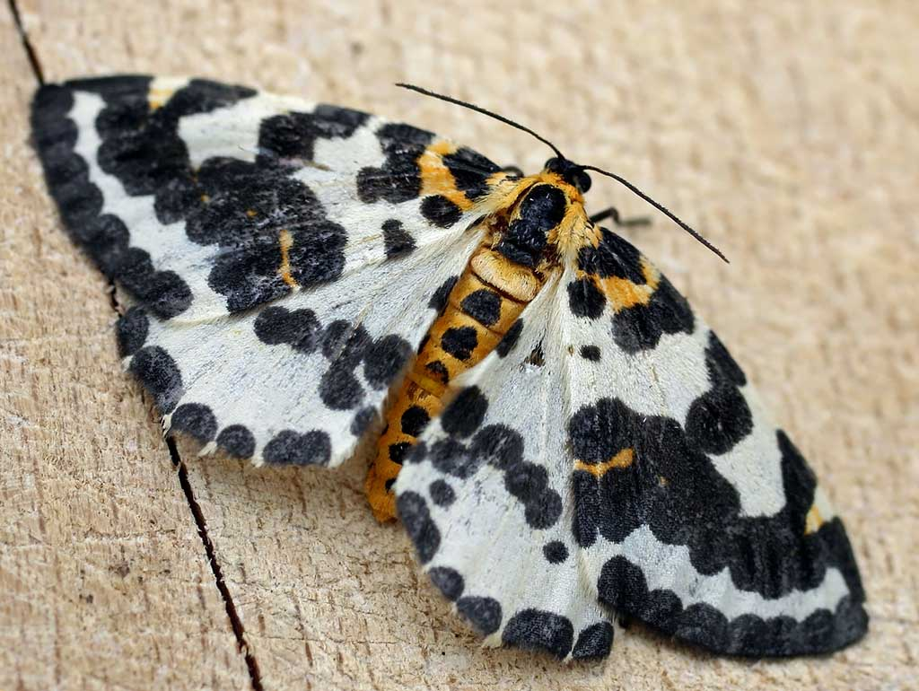 Бабочка крыжовниковой пяденицы