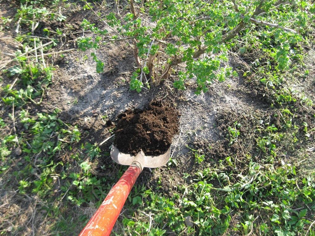Почва под кустом должна быть ухоженной и удобренной