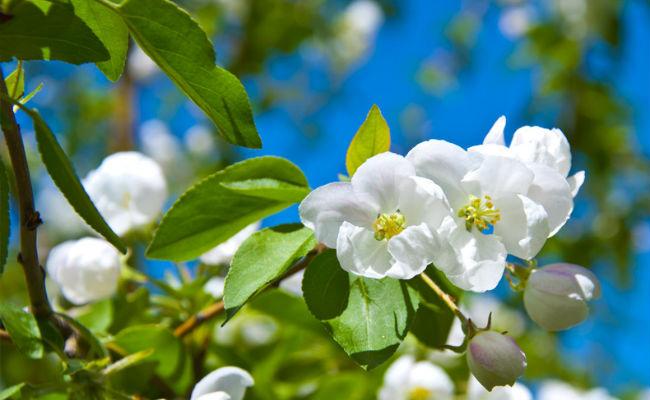 фотография цветущей яблони
