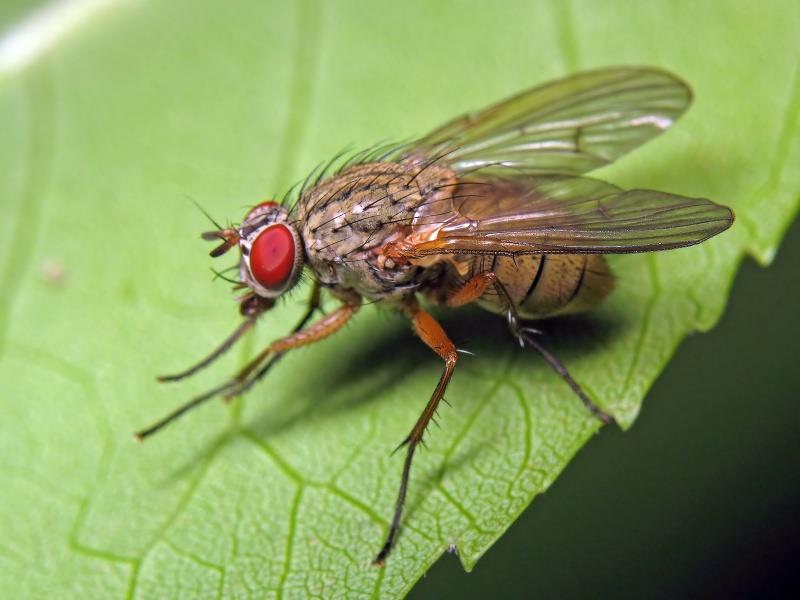 Капустная муха: фото самки