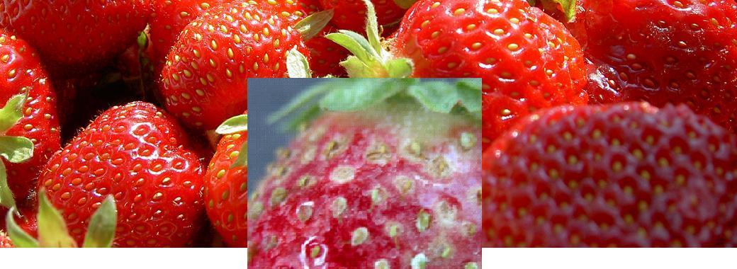 Такие ягоды употреблять в пищу нельзя