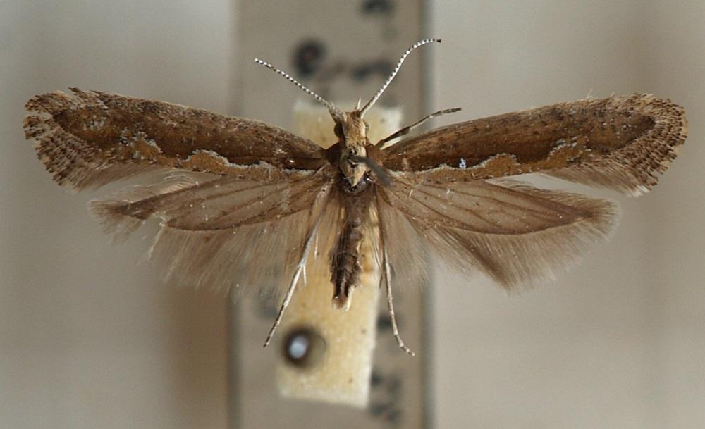 Капустная моль: фото половозрелой самки
