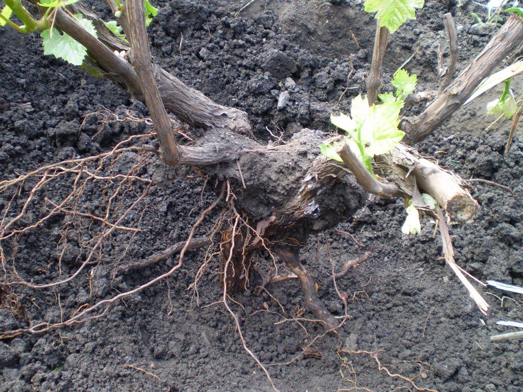 При посадке новых кустов внимательно обследуйте корни на предмет наличия тли
