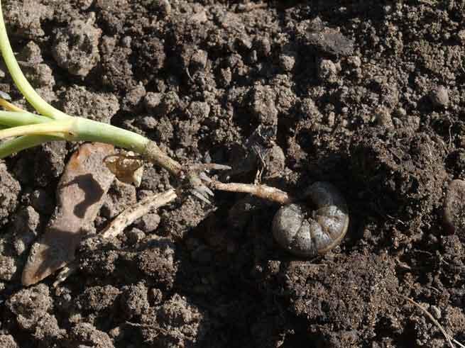 Капустная совка пожирает и корень растения