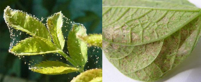 Паутинный клещ на малине – фото поражения