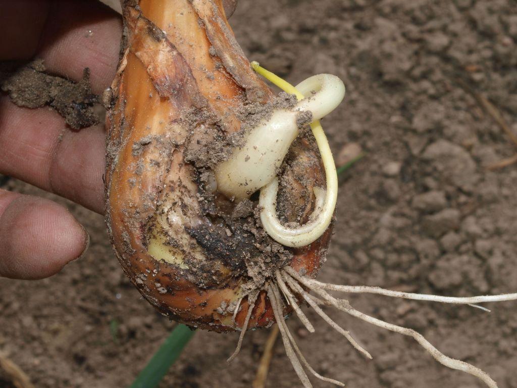 Мушка может погубить полностью весь урожай