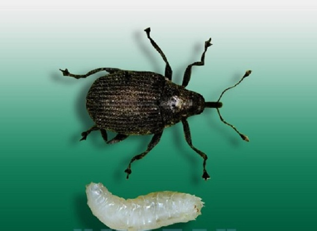 Жук и личинка долгоносика лукового
