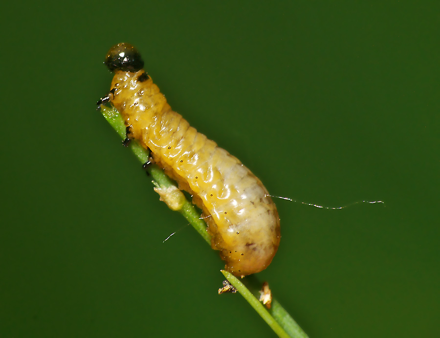 Фото личинки