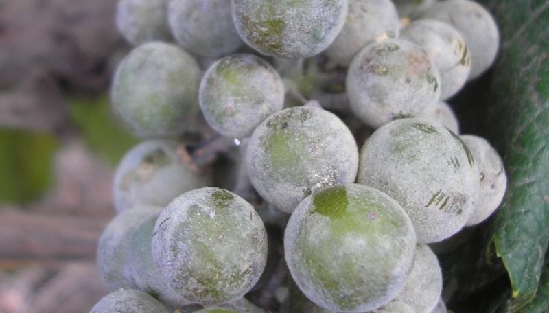 Мучнистая роса на грозди винограда