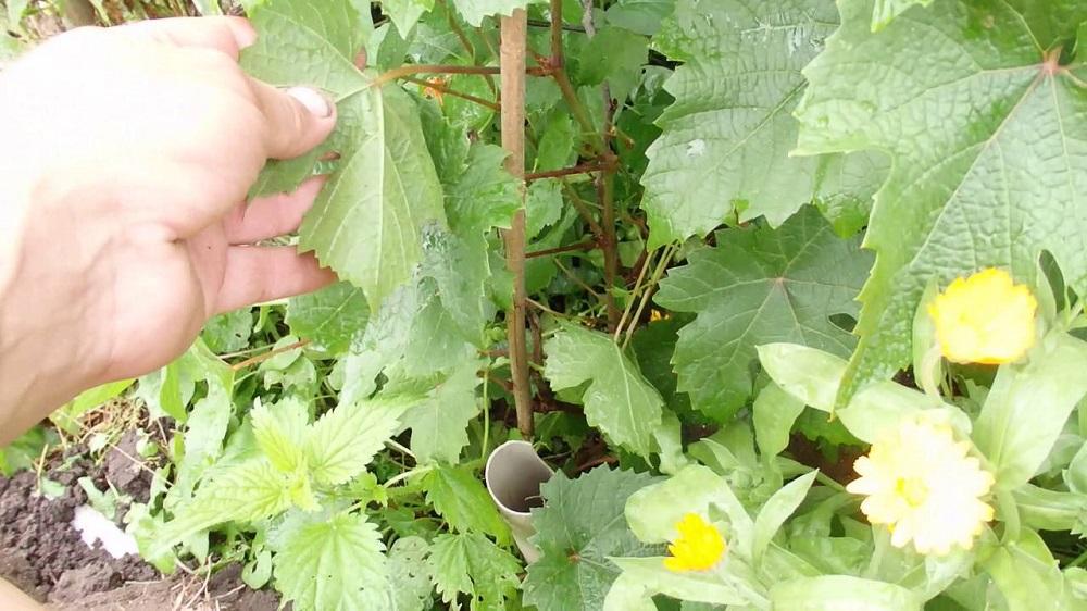 Вокруг виноградника нужно садить травы-спутники, к примеру, календулу