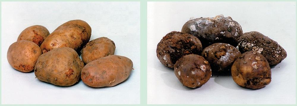 Болезни картофеля парша обыкновенная как избавиться