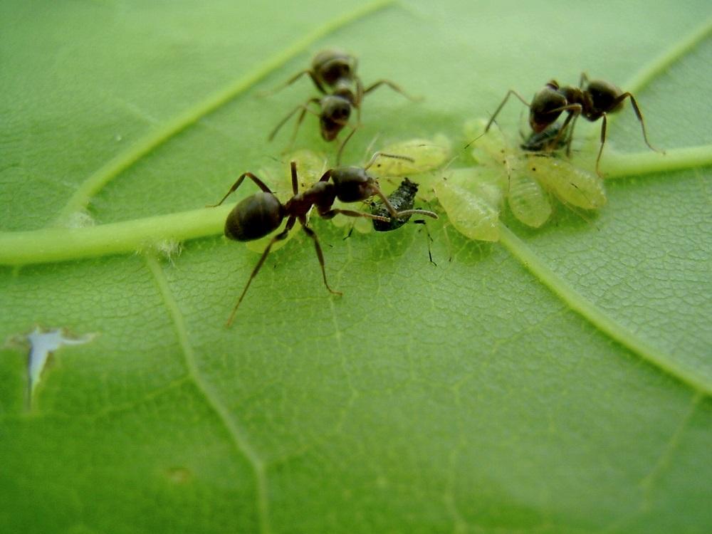 Где муравьи, там и тля - это факт