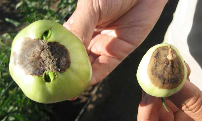 Вершинная гниль томатов в теплице и открытом грунте: лечение, меры борьбы