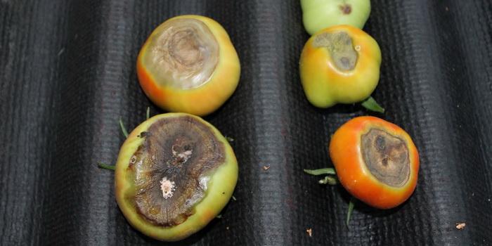 Эти томаты подлежат немедленному удалению с участка