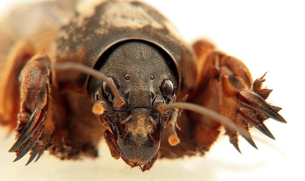 Крупное непривлекательное насекомое отличается всеядностью