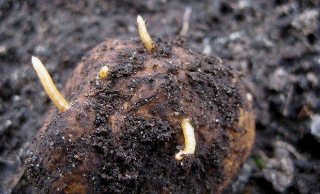 Картофельные грядки нельзя разбивать из года в год на одном месте
