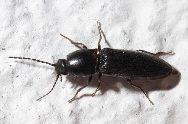 Заметили такого жука на картошке - ждите неприятностей, это проволочник