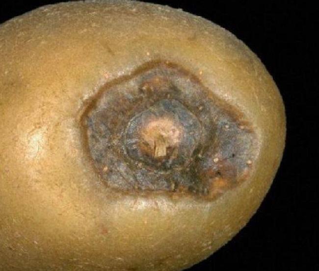 Картофельный клубни после поражения грибным заболеванием