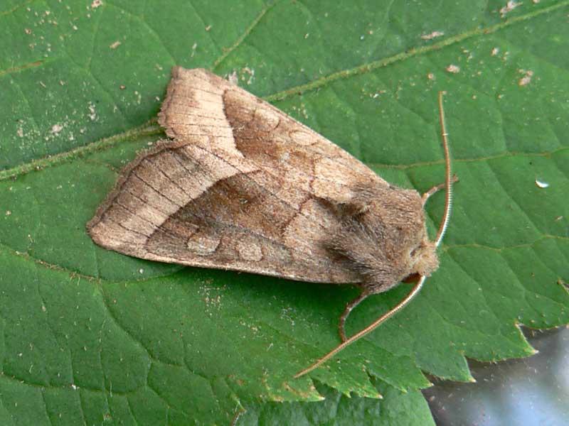 Картофельная совка: фото бабочки