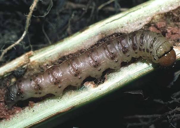 Фото гусеницы совки