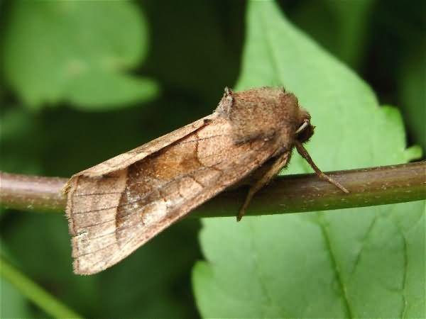 Лет бабочки можно предупредить, уничтожив кладки яиц