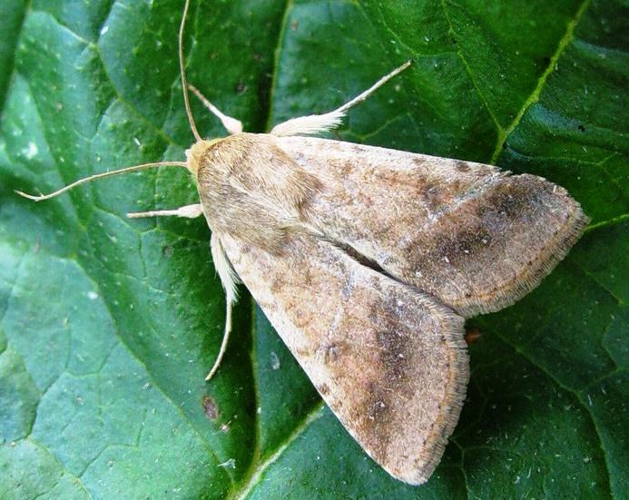Взрослая бабочка совки