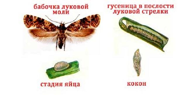 Луковая моль: личинки – фото стадий развития