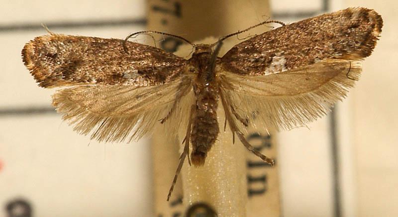 Луковая моль: фото взрослого насекомого