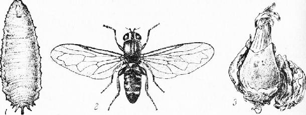 Формы мухи-журчалки