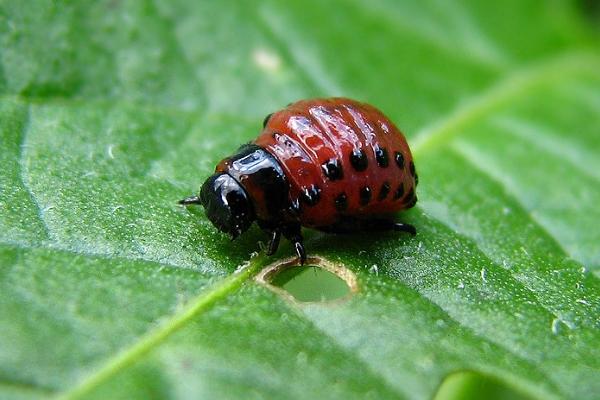 Личинка колорадского жука крайне вредоносна