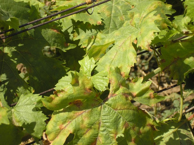 Милдью в короткое время может уничтожить целый виноградник