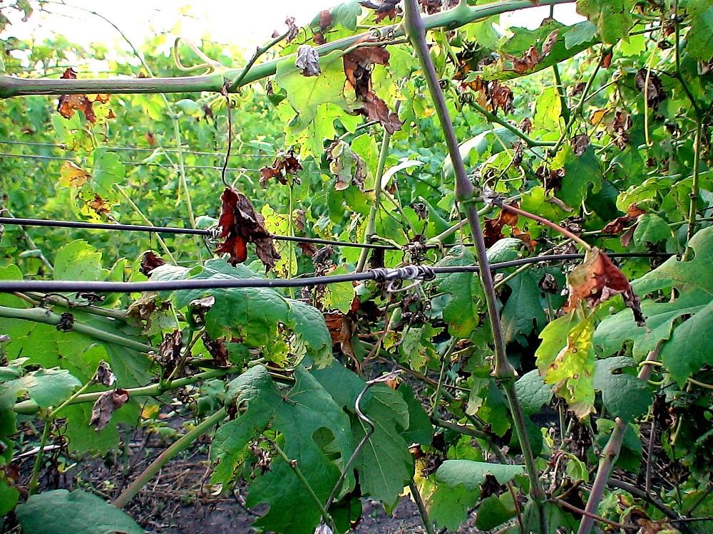 Оидиум на винограде: фото пораженного виноградника