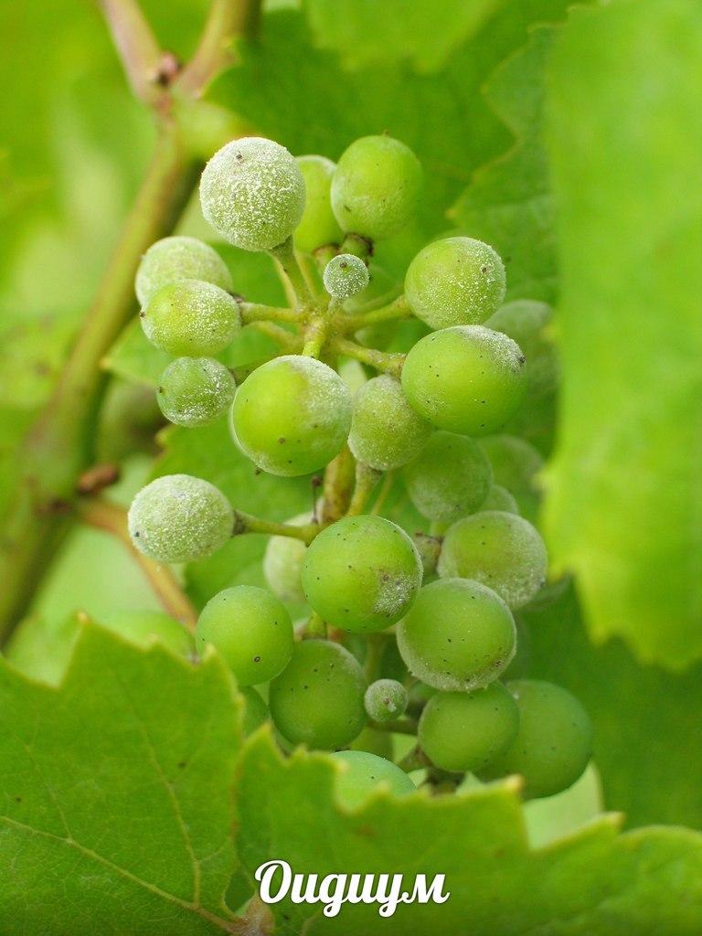 Пораженная гроздь