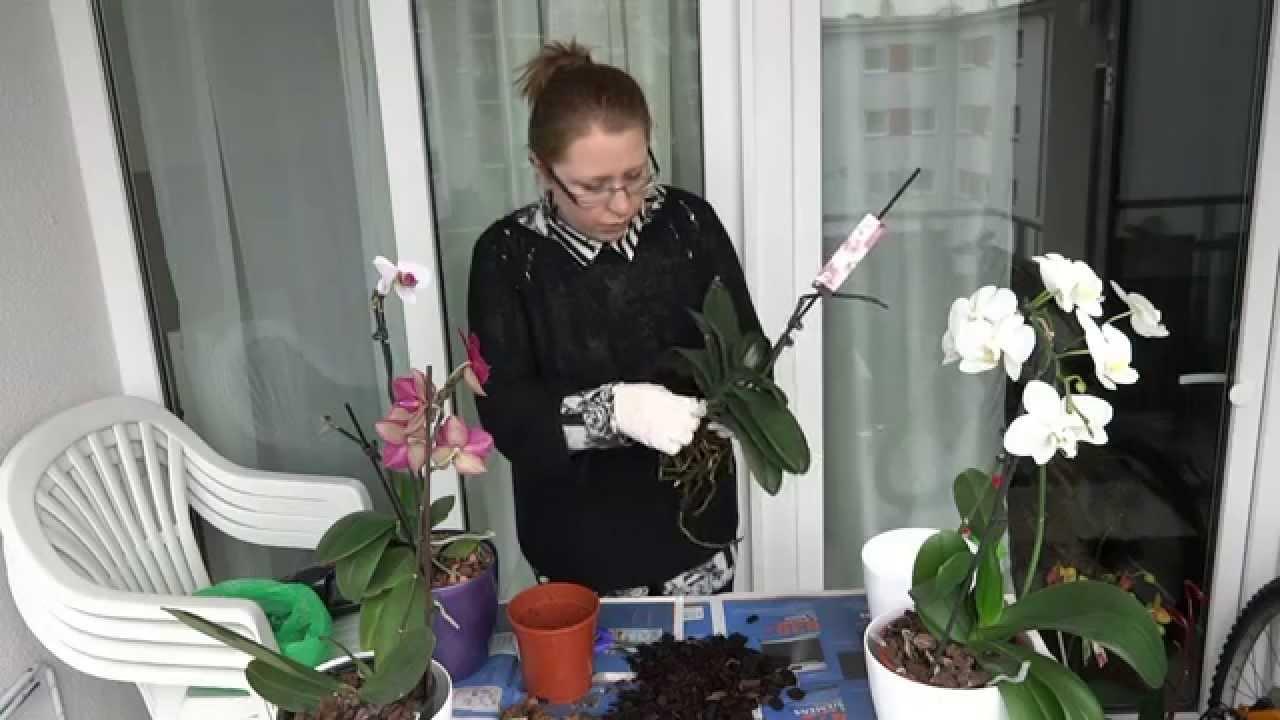 Корни орхидей нужно внимательно обследовать