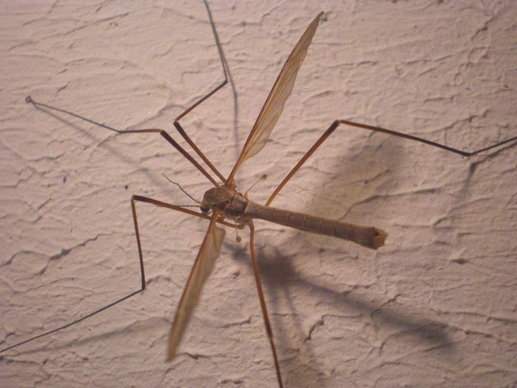 Самка малярийного комара крупнее самца